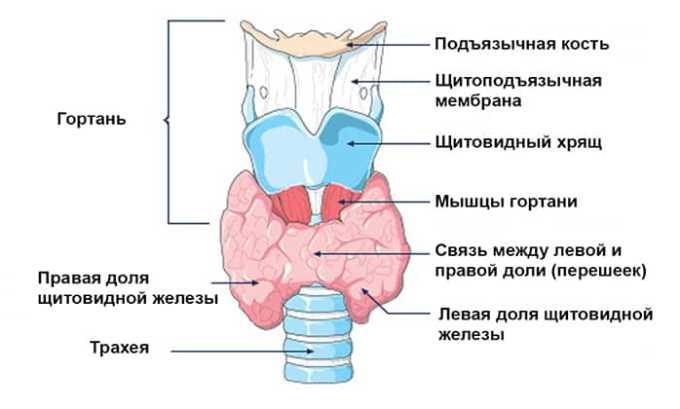 При патологических процессах щитовидная железа начинает производить трийодтиронин в превышающем потребности организма, количестве