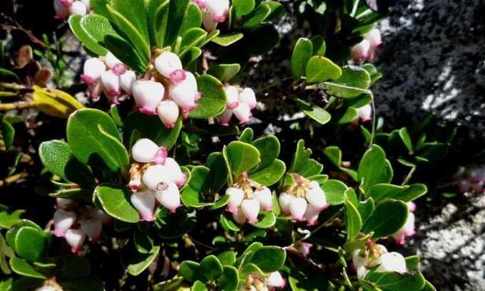 На основе цветков толокнянки готовят мазь для щитовидной железы