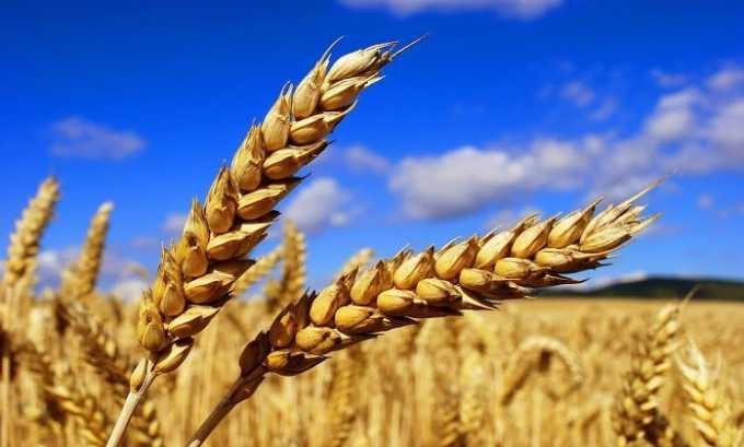 Пшеница богата содержанием витамина Е