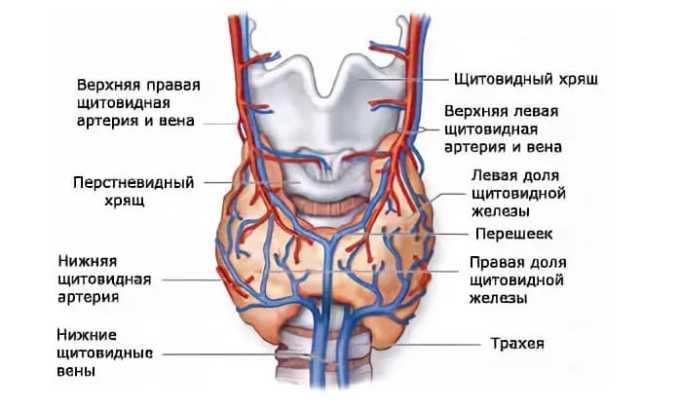 УЗИ с эластографией позволяет получить данные об объеме щитовидной железы, о размере обеих долей, о строении перешейка, о морфологической структуре щитовидки