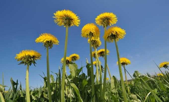 В соке одуванчика содержится йод, по этой причине растение рекомендуют при комплексном лечении щитовидной железы