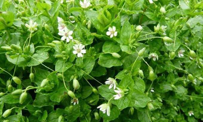Пользу принесет медовая микстура, для приготовления которой следует использовать сок травы мокрицы