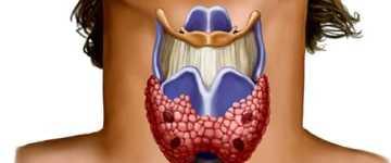 Что представляет собой фолликул щитовидной железы