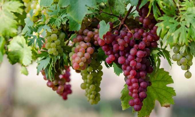 Для лучшей усвояемости йода необходим селен, который содержится в винограде