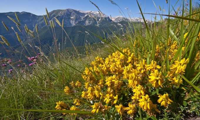 Трава дрока - включает органические кислоты, минеральные вещества, флавоновые гликозиды