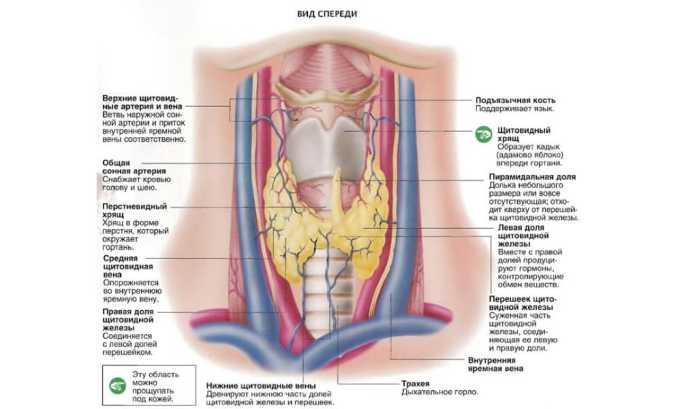 Сосудистые щитовидные артериальные трубки снабжают боковые доли щитовидки сверху