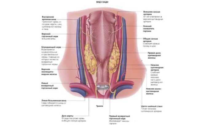 Внутри тела щитовидки крупные кровеносные образования создают множество мелких артериол, имеющих мышечно-эластичную структуру, которые затем распадаются на капилляры