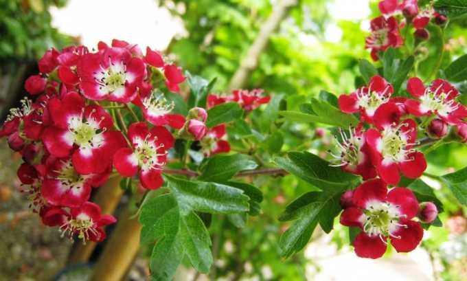 Настой из цветков боярышника помогает укрепить щитовидную железу