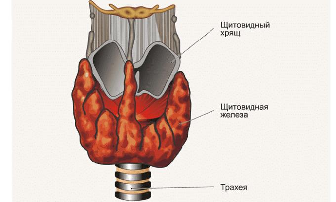 Если у ребенка увеличена щитовидная железа, это может указывать на наличие хронического воспаления