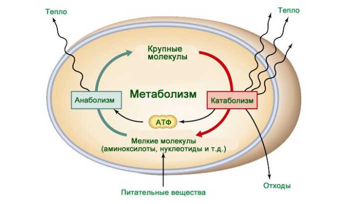 Препарат назначается при нарушении процесса обмена веществ