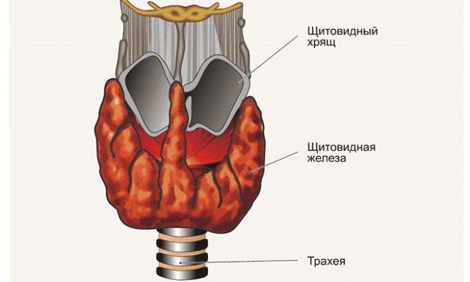 Узлов в норме щитовидная железа не имеет. Допускается небольшое присутствие кистозных образований, максимум до 4 мм