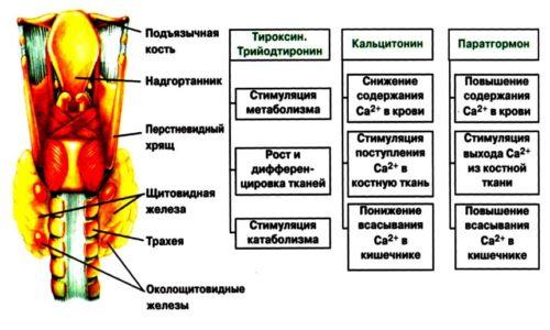 Гормоны щитовидной железы и их функции