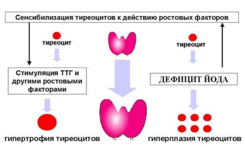 Главную роль играют тиреоидные гормоны. Ими организм снабжает щитовидная железа