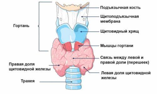 Структура тканей бывает однородной и неоднородной. Здоровая щитовидная железа в норме должна иметь зернистую структуру ткани. Структуру ткани с опытом определить довольно просто