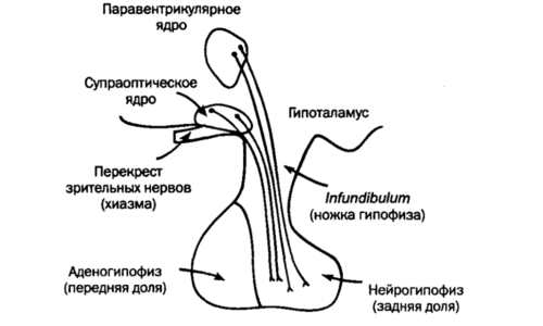Схема строения гипофиза