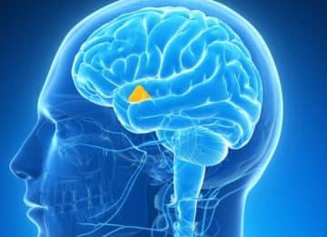Каковы выполняемые функции гипофиза и щитовидной железы?