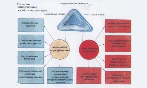 Основной функцией надпочечников является выработка гормонов
