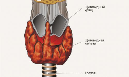 Щитовидная железа является специфическим органом внутренней секреции человека, синтезирующим при обязательном участии йода гормоны трийодтиронин, тироксин и некоторые иные активные элементы