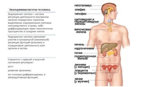 Эндокринная система состоит из нескольких желез, тесно связанных между собой