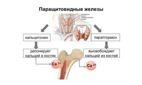 Уровень паратгормона в крови непостоянен, он колеблется в зависимости от состояния организма и времени суток