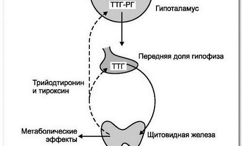 Гормоны улучшают усвоение жиров, участвуют в образовании эритроцитов, регулируют работу половой системы