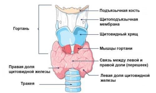 Если папиллярный рак спровоцировал появление множественных новообразований, проводится тщательное обследование сначала правой, а затем левой доли щитовидной железы