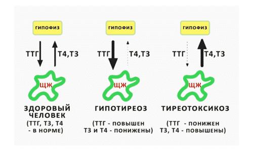 Положительный результат анализа свидетельствует о наличии тиреотоксикоза