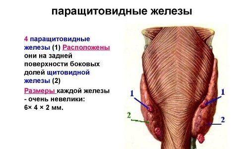 Паращитовидные железы расположены симметрично: верхние паращитовидные образования — за щитовидной железой, нижние — в толще органа
