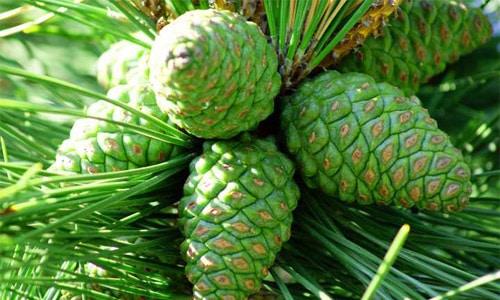 Сырье для настойки собирается в мае, так как в зеленых мягких шишках наибольшее количество полезных для щитовидной железы веществ