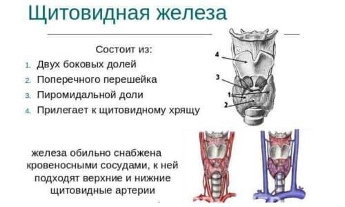 Железа расположена в нижней передней части шеи и состоит из 2 долек, объединенных перегородкой, и определить, увеличен ли орган, и где локализуется болевой синдром, неопытному человеку невозможно