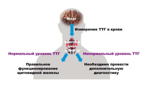 Чаще всего врачи направляют пациентов на исследование ТТГ (тиреотропин)