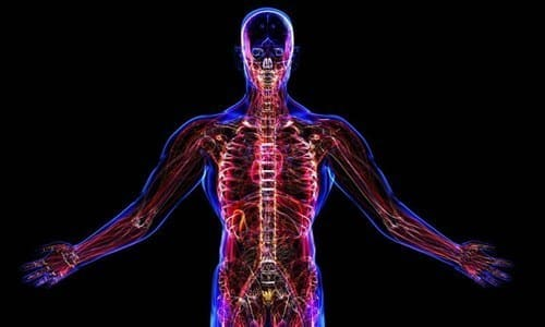 Биологически активные вещества расщепляются в печени, почках, мышцах, головном мозге
